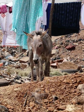 Un âne au milieu de detritus